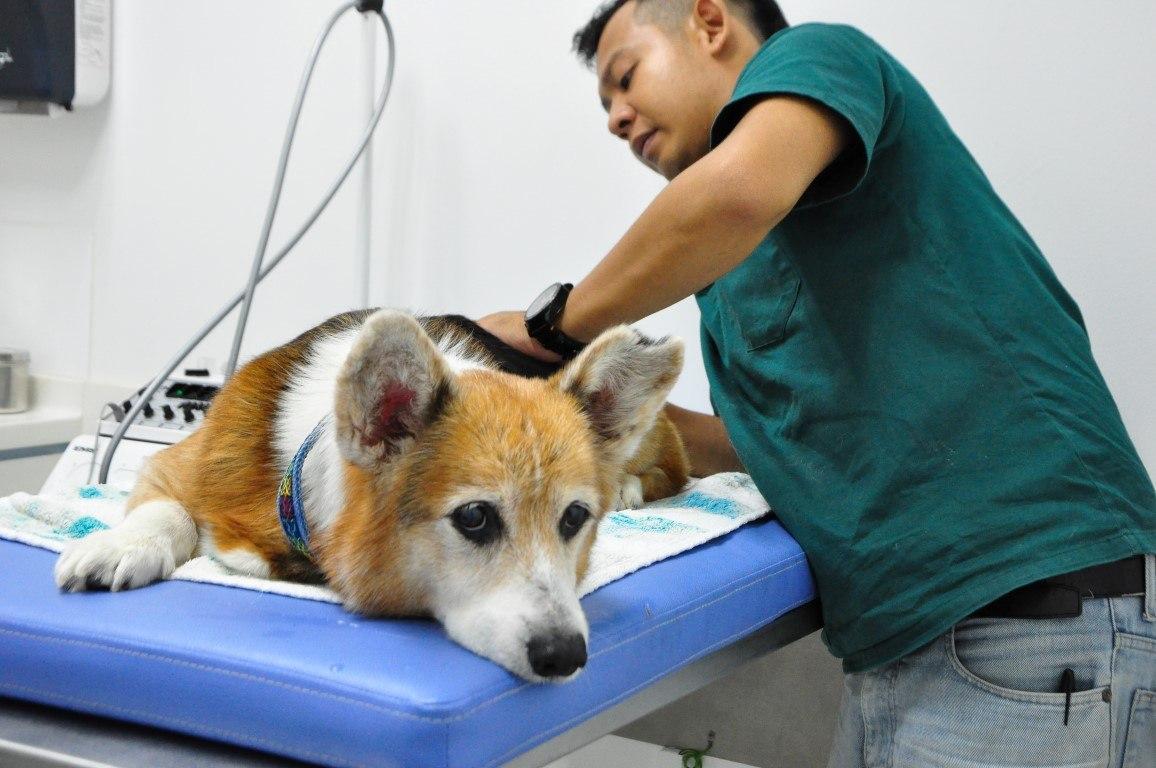 hougang-vets-clinic-iskanda-corgi