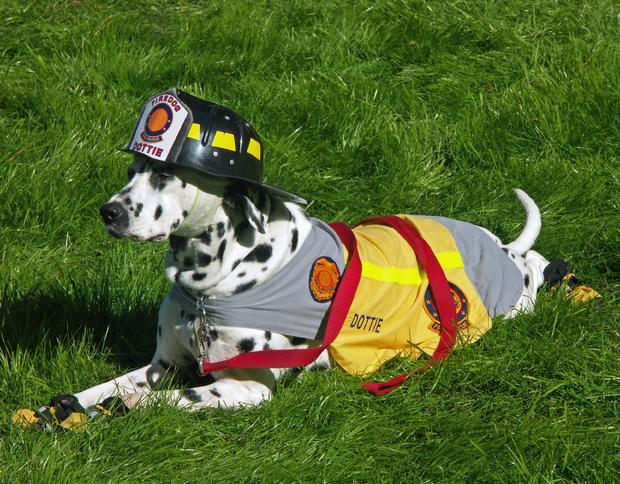 Lost Dalmatian Finds His Way to a Fire Station
