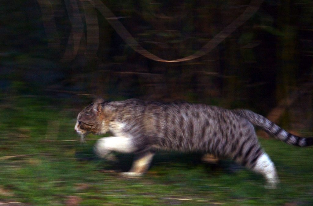 Study Finds That Feral Cats Now Cover Nearly 100% of Australia