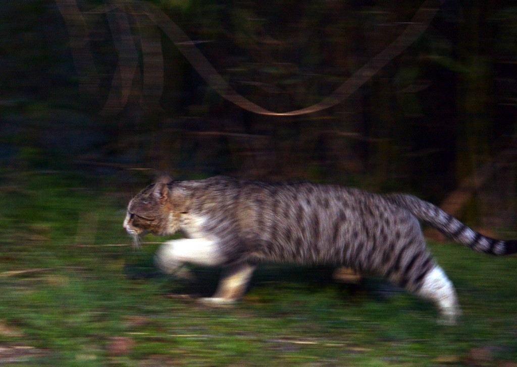 Species Of Feral Cats That Have Been Introduced To Australia