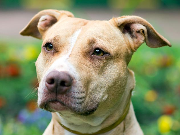 Overcoming the Fear of Pit Bulls: Where Do We Go from Here?